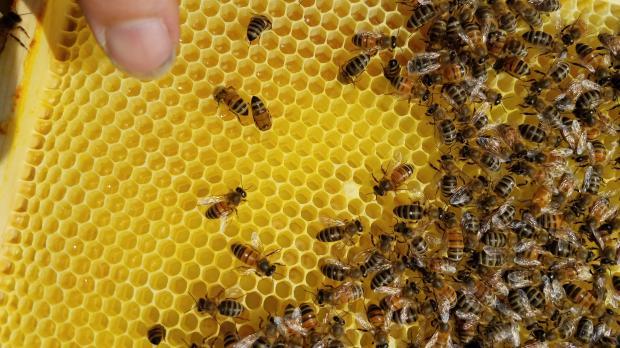 lang bees 2