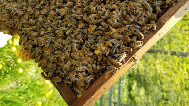 lang bees 3