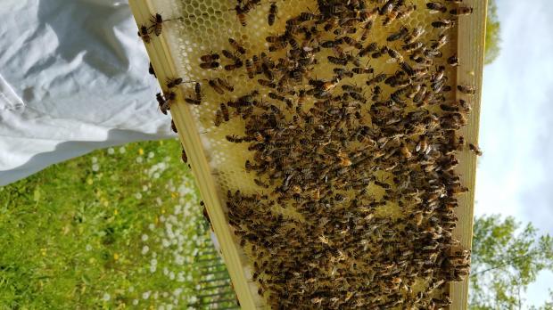lang bees 4