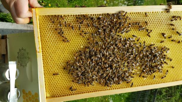 lang bees