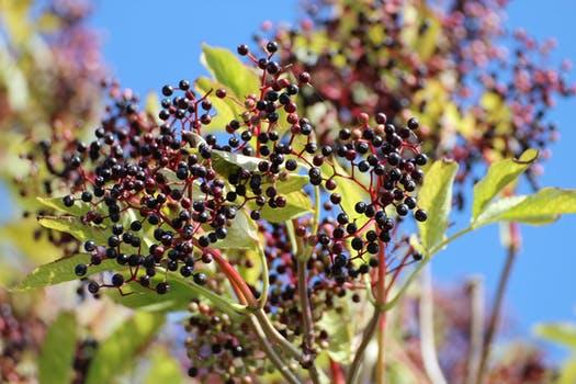 Elderberry berries